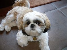 Shih Tzu...Best Dogs in the world!