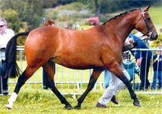 Part Bred Welsh Mare