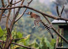 Leapin' Lemur! ~Madagascar's Lemurs Face Extinction Threat