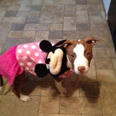 Nala. #pitbull #dogparkpublishing www.dogparkpublishing.com www.facebook.com/ittypitties