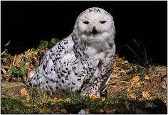 Résultats Google Recherche d'images correspondant à http://img.fotocommunity.com/images/Oiseaux/Rapaces/Hibou-blanc-a25332488.jpg