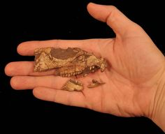 Scientists identify oldest horned dinosaur in North America. It's tiny.