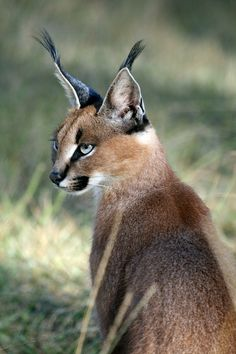 The caracal has a long tuft on the tip of the ear that exceed half the length of the ear. There is no pattern in the coat, except a few spots on the underside and inside of the fore legs. It is a slender, long-legged cat of medium size with a relatively short tail. The fur on the back & sides is generally tawny grey or reddish, frosted-sand colour. The belly & the undersides of the legs & chest are whitish and spotted or blotched with pale markings. The tufted ears are black-backed.