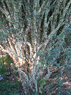 Jaboticaba tree in flower