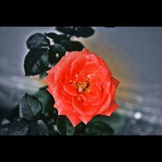 Sejuta kata bisa terangkai dari bunga mawar.