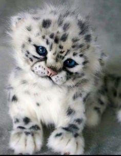 Snow leopard cub! Aww...