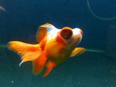 About Telescope Goldfish
