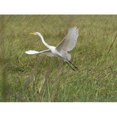 Great White Heron (Ardea alba) taking off from Okavango Delta Ngamiland Botswana Canvas Art - Panoramic Images (12 x 16)