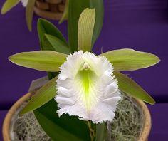 Prosavola Jim Wallace (Prosthechea mariae x Brassavola digbyana) | Flickr - Photo Sharing!