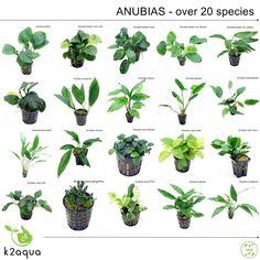 anubias species