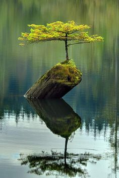 A small fir tree, which has become a bonsai, growing atop a dead log in the waters of Fairy Lake, near Port Renfrew on Vancouver Island in British Columbia, Canada