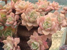 Echeveria 'Fun Queen' is an attractive, Korean hybrid Echeveria. It is an evergreen, rose-shaped succulent plant up to 1 inch cm). Colorful Succulents, Cacti And Succulents, Planting Succulents, Planting Flowers, Succulent Gardening, Succulent Terrarium, Indoor Gardening, Indoor Herbs, Cacti Garden
