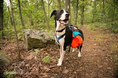 Hiking with dogs on the Appalachian Trail. Groundbird Gear packs are made in Maryland for your trail dog. Hand-crafted to your dog's measurements and your color preferences. The pack removes from the harness. Pack and harness together weigh one pound: half the weight of the leading dog pack of this kind, and GBG packs are more affordable than the leader in dog hiking gear!