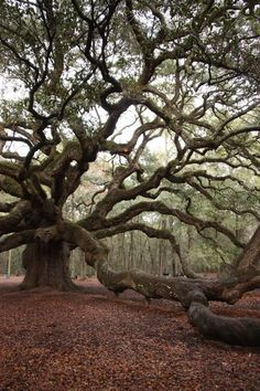 I remember visiting this as a little girl. Angel Oak — Charleston, Sc. - Click for More...