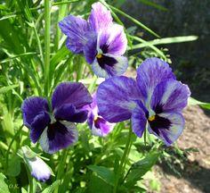 Анютины глазки (Viola)