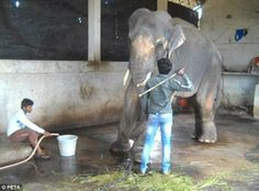 Heartbreaking footage shows elephant writhing in pain on the floor as he is beaten with a stick... AFTER being sent to Indian 'sanctuary'