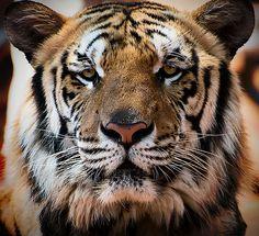 Crouching Tiger........... - http://www.1pic4u.com/blog/2014/09/28/crouching-tiger/