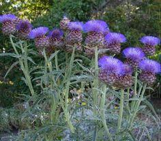 Cynara cardunculus 'Cardoon' - Flowers Seeds