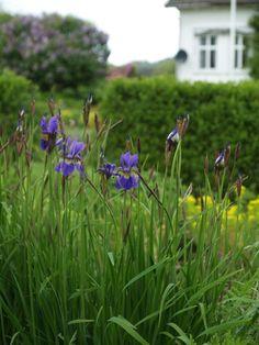 Siberian flag (Iris siberica) planted en masse. Photo: 2009-05-27