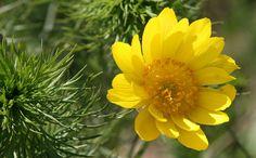 Adonis_vernalis_flower_photo_file_229KB.jpg (Изображение JPEG, 1600×995 пикселов)