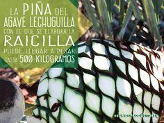 La piña del agave lechuguilla con el que se elabora la raicilla puede llegar a pesar hasta 500 kilogramos. SAGARPA SAGARPAMX #SomosProductores