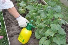 Prírodné hnojivo na uhorky