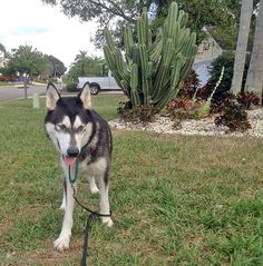 Meet our newest #rescued #Siberian #Husky: http://www.siberrescue.com/ Anna is a brown eyed girl who was picked up as a stray by a county shelter. She is up-to-date on shots and will be microchipped and spayed prior to #adoption.