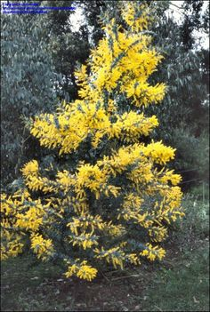Golden Mimosa Tree/Cootamundra Wattle/Bailey Acacia/Acacia baileyana. Hillside.