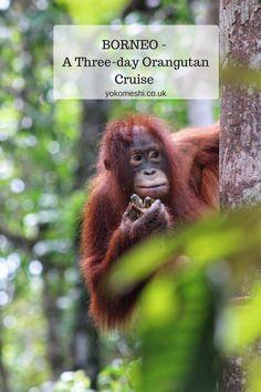 A Three-Day Orangutan Cruise in Borneo, Indonesia  www.yokomeshi.co.uk