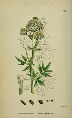 v.1 (1863) - English botany, or, Coloured figures of British plants / - Biodiversity Heritage Library