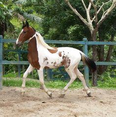 Le Campolina - Un Campolina au trot en liberté Campolina, American Paint Horse, Horse World, Beautiful Horses, Equestrian, Beautiful Pictures, Pinto Horses, Horse Stuff, Baroque