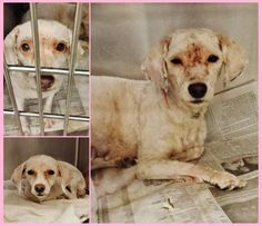 SAFE--- Bishions and Buddies Rescue- NEGLECTED  BABIES!! **  California-- These 3 sisters showed up covered in years of neglect, their hair all matted with tons of fleas and tics. The Vet staff did an amazing job cleaning them up and giving them a chance to be seen. Are just getting used to how it feels and they need your help. Please SHARE for their sweet lives. Thanks!  #A4861489  toy poodle mix.  #A4861490 toy poodle mix. #A4861491  toy poodle mix at the Carson Shelter Center ,CA