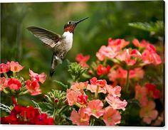 Hummingbird Canvas Art Graceful Garden Jewel by ChristinaRolloArt
