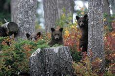 3 little bears, peakin