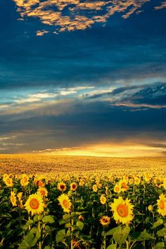 Sunset over the sunflower fields in Bulgaria. One of the most beautiful sunsets on Earth that many Bulgarians see but can not feel the encha. What A Wonderful World, Beautiful World, Beautiful Places, Beautiful Pictures, Beautiful Sky, Image Nature, All Nature, Amazing Nature, Sunflower Wallpaper