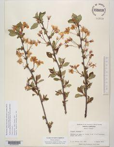 Prunus_cerasus,Resources for Botanical Sketchbooks, , Resources for Art Students at CAPI::: Create Art Portfolio Ideas milliande.com, Art School Portfolio Work, , Botanical, Flowers, Plants, Leaves,Stem Seed, Sketching, Herbarium
