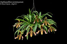 Paphiopedilum Germinyanum | Flickr - Photo Sharing!