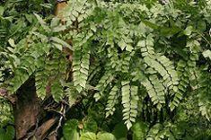 Adiantum cf. peruvianum 050105-4401 Maidenhair Fern, Herbs, Herb, Medicinal Plants