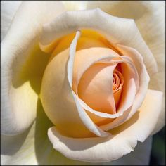 PEACH AND RED ROSES PICS    Rose - peaches and cream by Pilar Azaña, via Flickr
