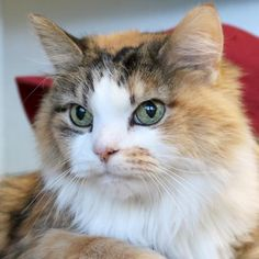 Hi, I'm Sweetie! I'm a 10 year old spayed female calico or dilute calico Domestic Long Hair.