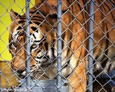 Despite pressure from animal advocates, on May 30, 2014, Louisiana House of Representatives voted 67-26 to allow Michael Sandlin to KEEP 14-year-old Tony at the Tiger Truck Stop. http://www.examiner.com/article/new-la-bill-could-keep-tony-at-tiger-truck-stop