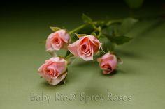 Baby Rio® ILSE Spray Rose
