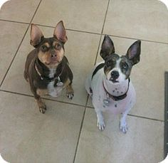 LaBelle, FL - Rat Terrier. Meet Koda, a dog for adoption. http://www.adoptapet.com/pet/18222111-labelle-florida-rat-terrier