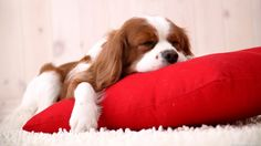 Sleeping Dog on Red Pillow