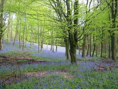 Endless Bluebells at Portglenone Forest. Country Antrim. Ballymena Borough Council | Photo Galleries