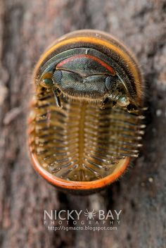 Pill Millipede (Sphaerotheriida) on its back. Weird Insects, Cool Insects, Bugs And Insects, Potato Bugs, Woodlice, Convergent Evolution, Pill Bug, Macro Pictures, Beetle Insect