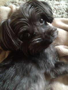 Layla the Yorkipoo Yorkie Poodle, Nature Animals, Small Dogs, Best Dogs, Fur Babies, Cute Animals, Puppies, Yorkies, Aaliyah