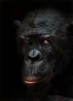 Bonobo by Agu alf