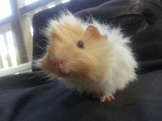 adorable fluffy Baby guinea pig