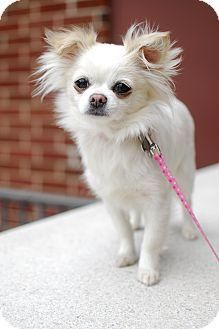 Meet Elsa, a Petfinder adoptable Chihuahua Dog   Detroit, MI   Elsa is a lovely long haired white/tan patches 6 pound Chihuahua. She is good with other small dogs...